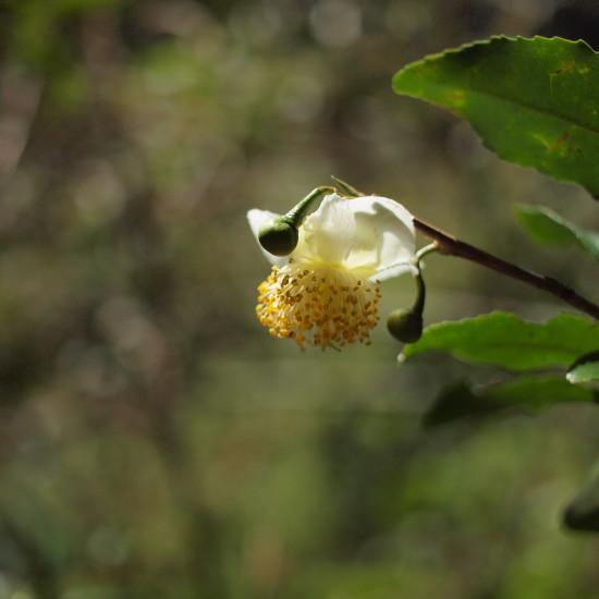秋のヤマチャ畑。手つかずの自然の中で花咲きほころぶ。やがrてタネを落とし…
