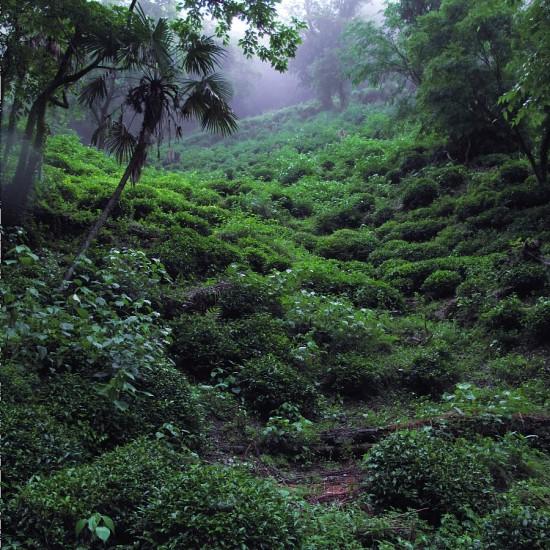 この幽玄。雑木の林の中に自生していた茶木をカヤ肥えと油かすで育てた実生のヤマチャの茶園(2010年6月)