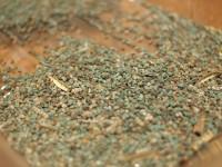 小さな小さな命たち。青っぽいのと茶色っぽのが混ざるモロヘイヤの種