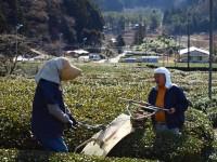 茶を刈るヨダケン、ケイコさん