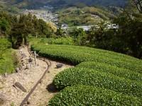 山の風渡る茶園