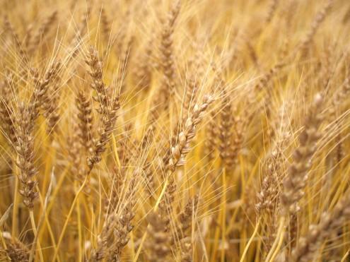 入梅の麦畑にて