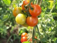 トマト奮闘ちゅう