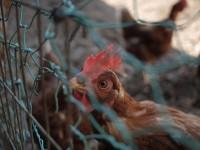 穏やかな鶏