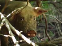 放牧豚と過ごした
