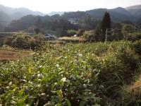 梼原、畑さんの実家の茶