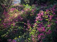 萩の花。秋の七草